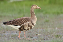 A Greater White-fronted Goose ...