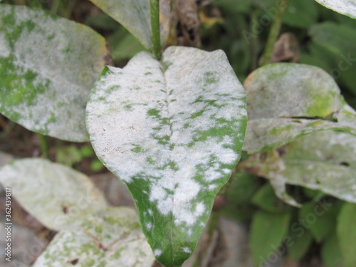 Obraz na plátně Closeup of powdery mildew fungal disease on the leaves of a peony plant