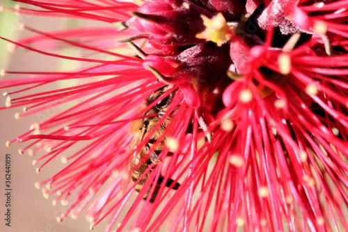 Leinwand Poster Honey bee inside red Bottlebrush flower, South Australia