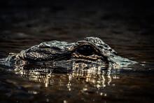 Alligator Swimming In Small Ri...