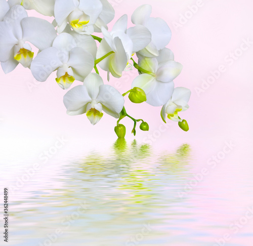 Fototapety, obrazy: light white orchid beautiful flower and fluttering butterflies Hand drawn branch on white