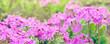 Leinwanddruck Bild - Blooming bright pink primula flowers