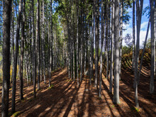 Forest Of Tall And Skinny Trees In Summer