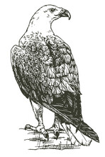 Hand Drawn Realistic Sketch Of An Eagle Perched On Branch, Vector Illustration