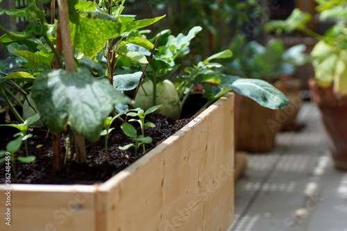 Fototapeta Growing vegetables and plants on a wooden raised bed standing on a balcony obraz