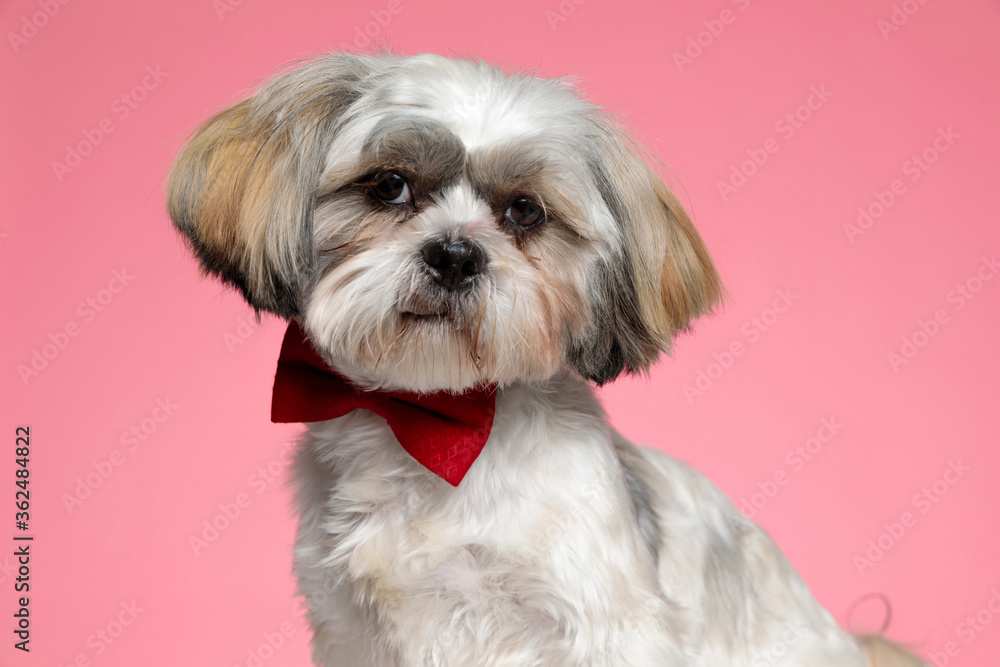 adorable shih tzu dog wearing red bowtie