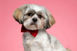 adorable shih tzu dog wearing red bowtie