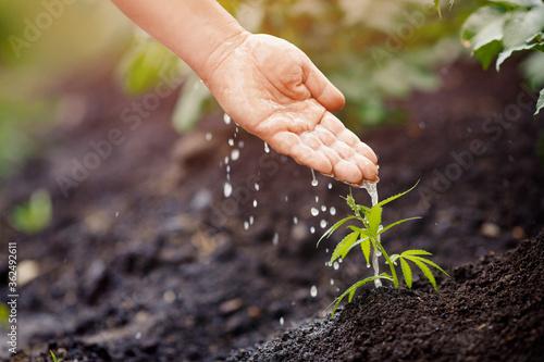 Farmer caring watering sprout baby marijuana hemp Bush green. Cannabis plantation in sunlight