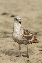 Close Up Image Of A California Gull, Looking At The Camera, With Blurred Sandy Background At A Beach