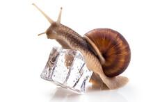 Garden Snail (Helix Aspersa) O...