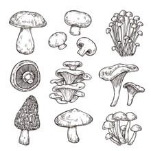 Sketch Mushroom. Nature Ingredients, Tasty Mushrooms Champignon Portobello. Isolated Vegetarian Food, Gourmet Forest Elements Vector Set. Sketch Mushroom Raw, Champignon Edible Illustration