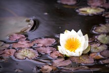 White Water Lily Flower Among ...