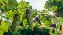 Cucumbers Ripen In The Sun. Cutting Products From The Farm