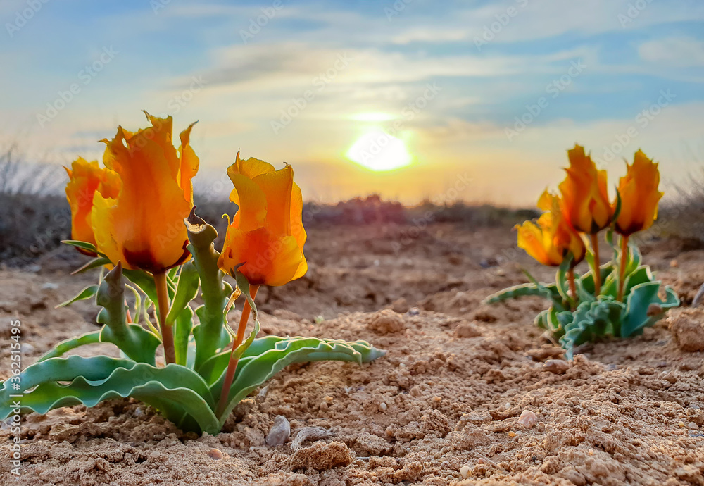 Fototapeta Fairytale landscape - steppe tulips at sunset, Baikonur, Kazakhstan