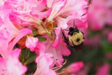 Closeup Shot Of A Bee On Pink Rhododendrons Flowers In The Park In Halifax, Canada