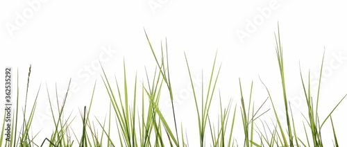 Fotografia Green grass blades row isolated on white background with clipping path