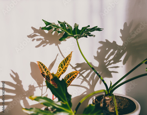 Photo close-up of monstera and croton plants indoor with harsh sunlight creating shado
