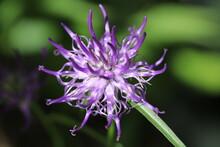 Nahaufnahme Der Sehr Seltenen Naturheilpflanze Teufelskralle