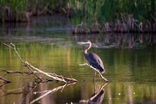 Long-legged Great Blue Heron P...