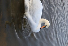 Close-up Of Swan Swimming In L...