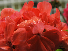 Drops Of Water On Petals Of Beautiful Red And Rose Flower After Rain