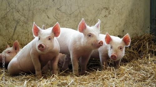 Fototapeta Pigs On Farm