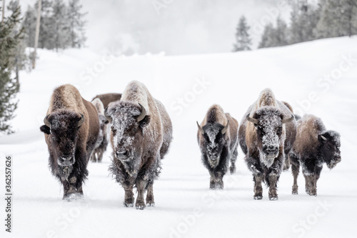 Foto American Bison family group in winter