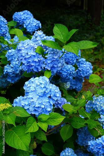 Blue heads of hydrangea flowers