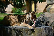 Lion On Rock Eating Meat