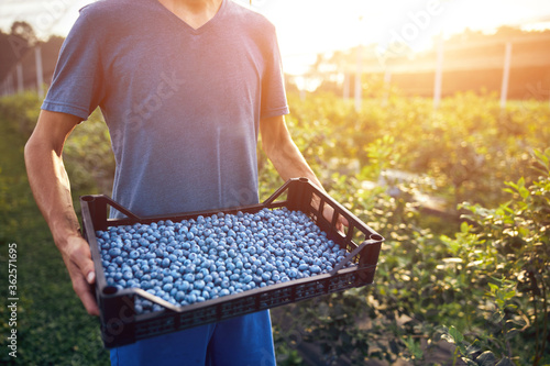 Fotografiet Farmer working and picking blueberries on a organic farm - modern business concept