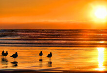Gulls Enjoy The Sunset On Pismo Beach, California
