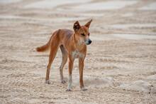 The Dingo Dog Lives On The Sandy Island Of Fraser