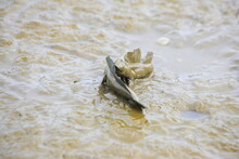 Japanese Mudskippers Are Fight...