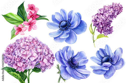 Fotografie, Obraz set of flowers, anemones, hydrangea, vegaila, lilac, watercolor botanical illust