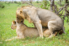 Lions Mating In The Wild
