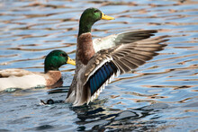 Duck Flapping Wings