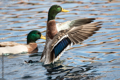 Duck Flapping Wings Fototapete