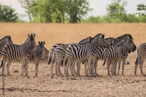 Fototapety, obrazy: Zebras Standing On Field Against Sky