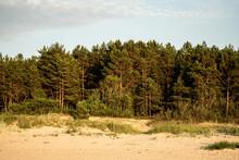 Pine Trees On The Beach