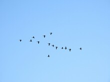 Low Angle View Of Canada Geese Birds Flying In Sky
