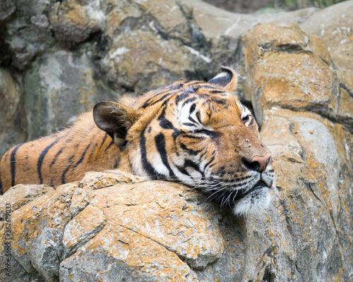 Photo Tiger Lying On Rock