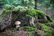 canvas print picture - Delicious edible mushroom boletus edulis known as cep, penny bun, porcino or porcini in spruce forest - Czech Republic, Europe
