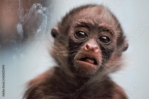 Canvastavla Close-up Portrait Of A Monkey  photographyfrankfurt