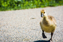 Close Up Of A Baby Goose Running