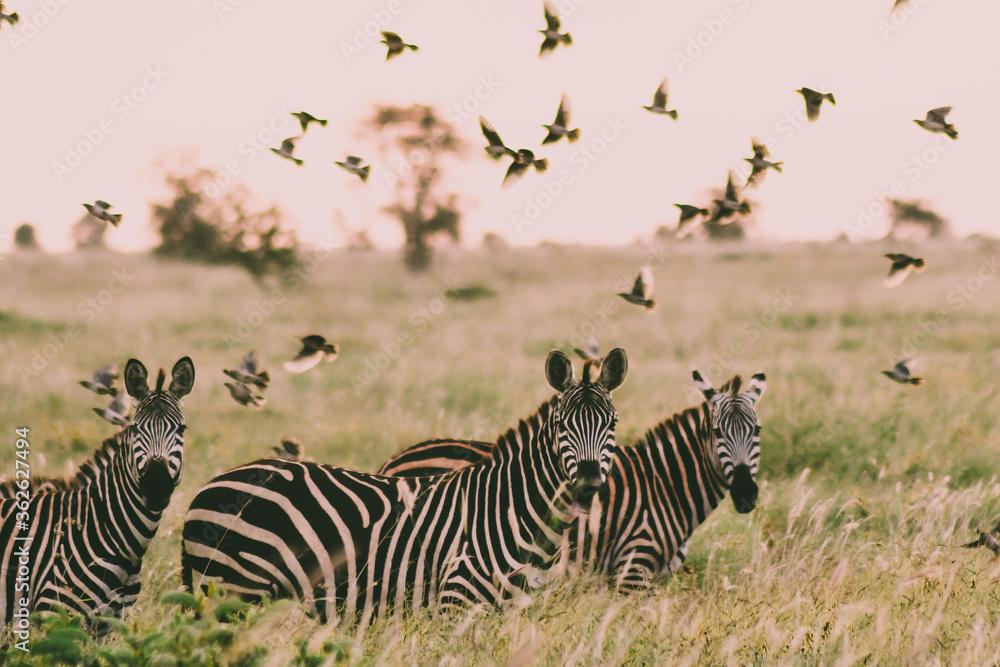 Fototapeta Zebra And Flock Of Birds In A Field