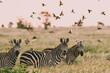 Zebra And Flock Of Birds In A Field
