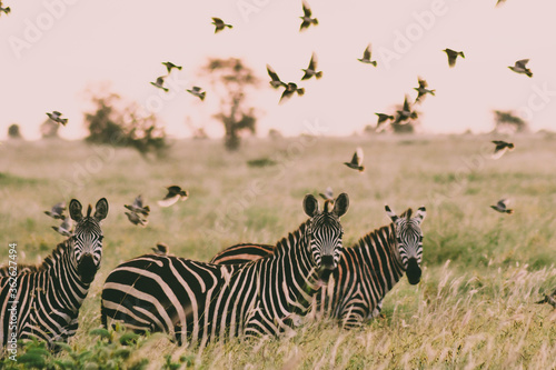Zebra And Flock Of Birds In A Field