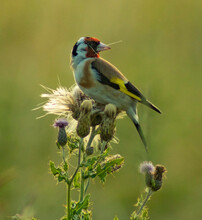 Gold Finch Perching On Thistle