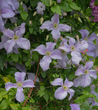 Summer Flowering Deciduous Climbing Clematis Plant (Clematis 'Kermesina') Growing Up A Pergola In A Country Cottage Garden In Rural Devon, England, UK