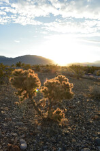 Sun Rays Cactus Plant In Mojave Desert Sunrise Landscape In The Town Of Pahrump, Nevada, Usa